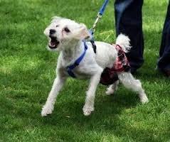 correa canina tipo entrenador - trainer leash as seen on t v