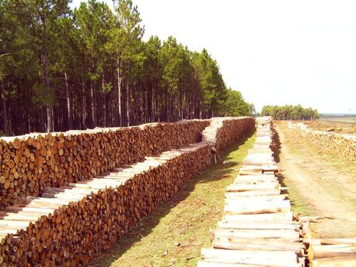 cosecha forestal - compramos montes de eucaliptus y pino