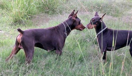 doberman marrones y negros - excelente linea y genetica