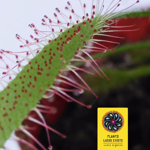 drosera - 24 meses - plantas carnívoras