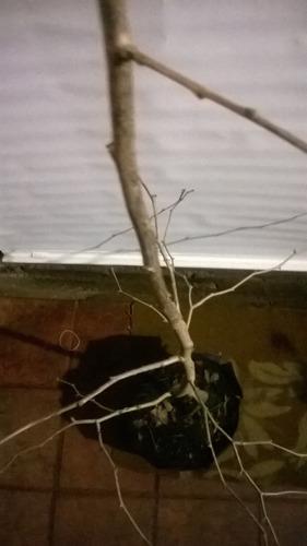ginkgo biloba  de 1,70 bien ramificado tronco grues unico!!!