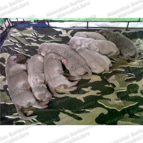gran oferta cachorros braco d weimar weimaraner registro fcm