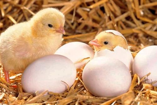 incubadora automatica 50 huevos oferta!!