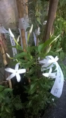jazmin azorico- enredaderas de las azores flor blanca perf.