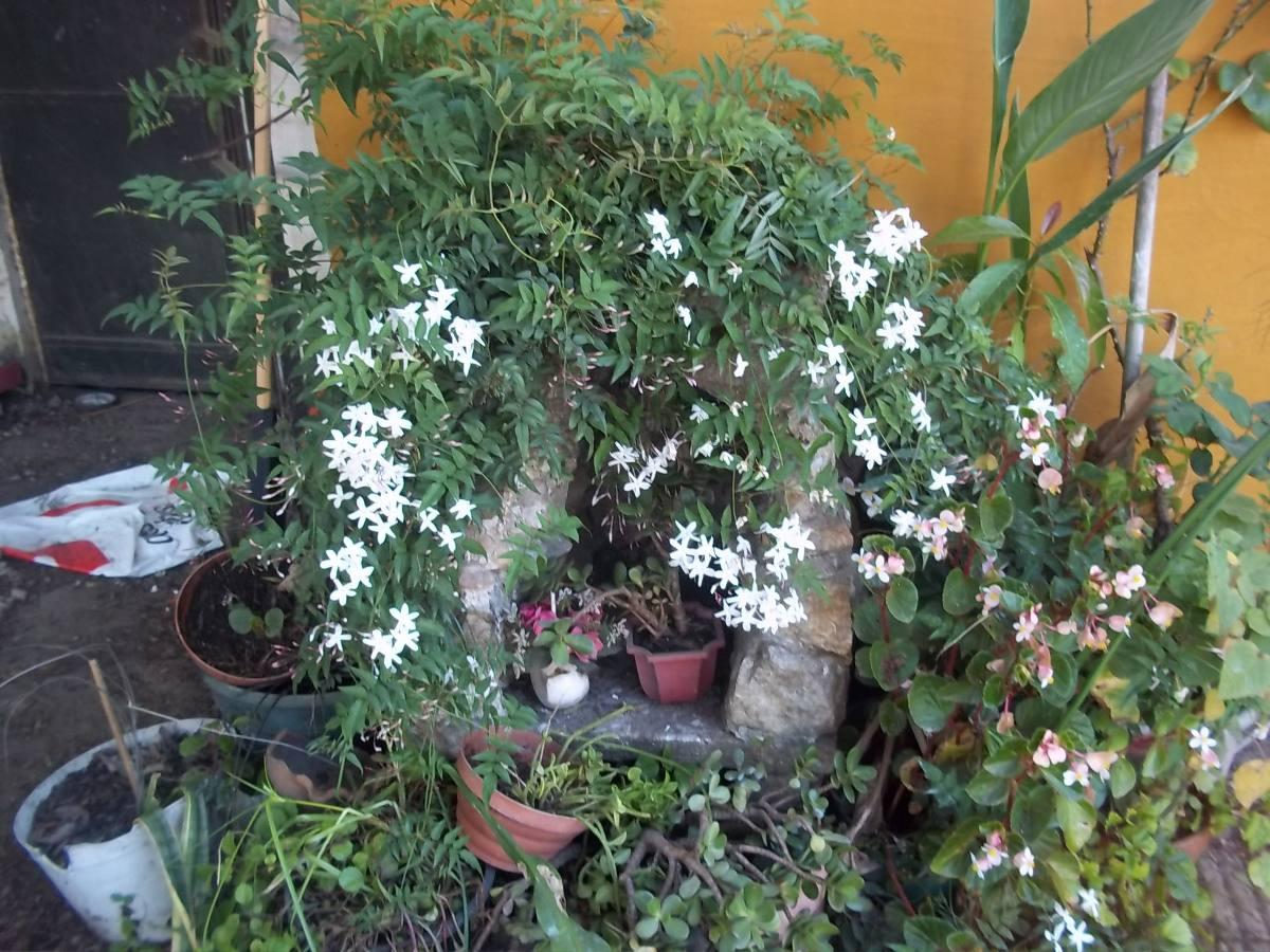 Jazmin Del Pais Enredaderas Con Flores 25000 En Mercado Libre