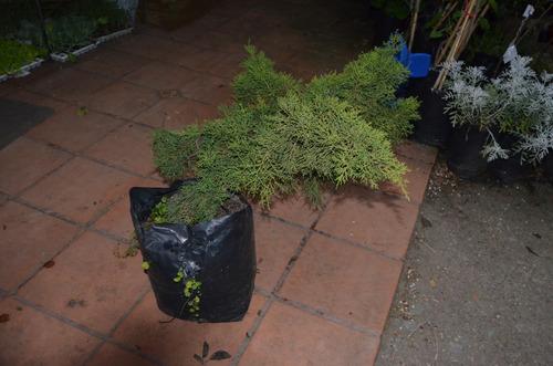 junipero rastrero (pino rastrero)