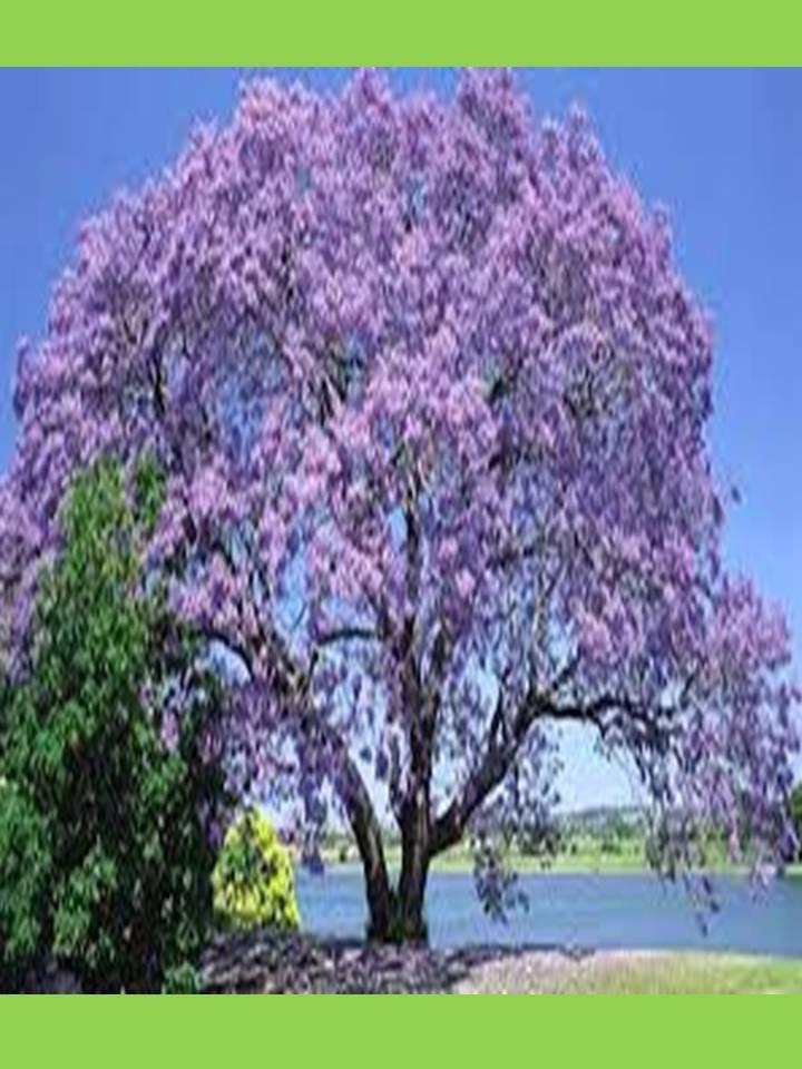 Kiri rbol floral sombra crece r pido queda solo 1 for Arboles de hoja perenne que crece rapido