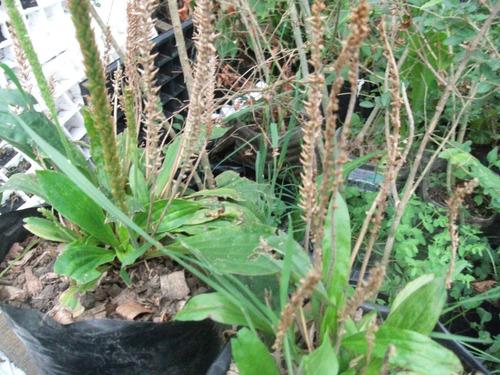 llanten yanten planta medicinal