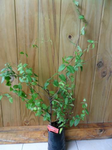 madreselva- enredadera floral, perfumada- cercos, enramadas
