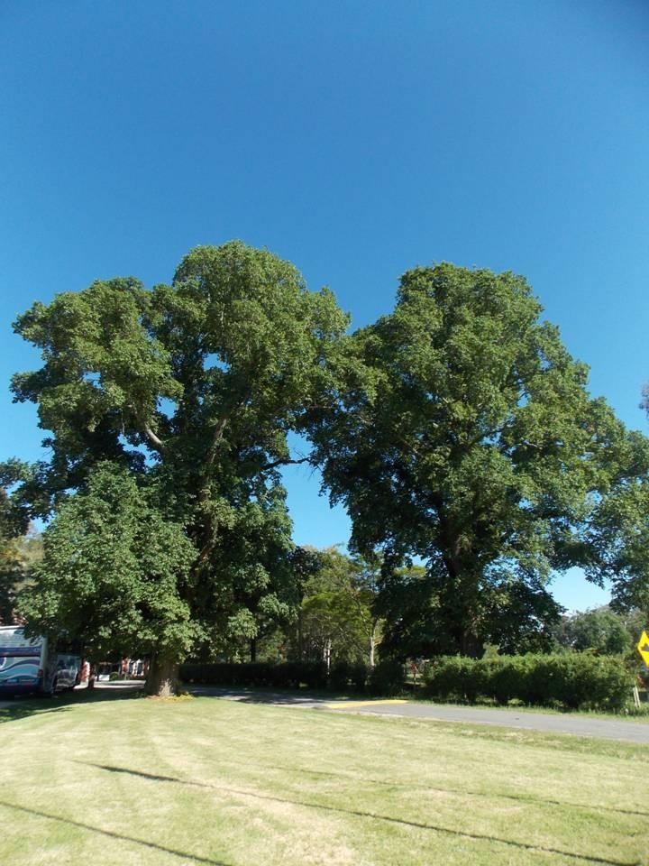 Olmo rbol muy decorativo ideal sombra crece r pido for Arboles de hoja perenne que crece rapido