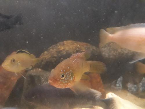 peces ciclido africano joya