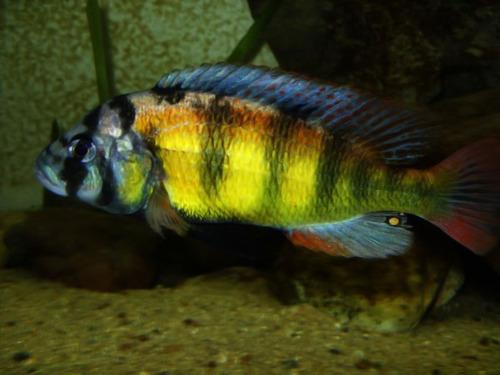 peces cíclidos africanos ch44 vendo/cambio