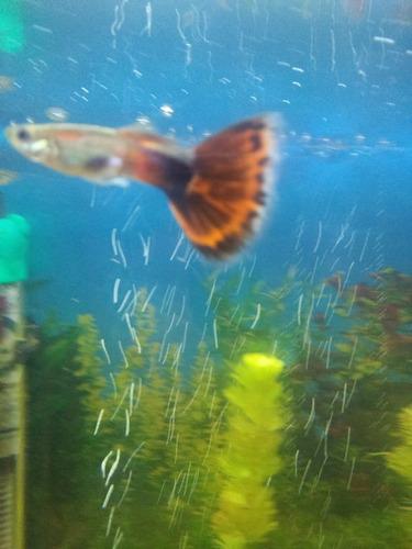 peces guppy o lebistes hembras