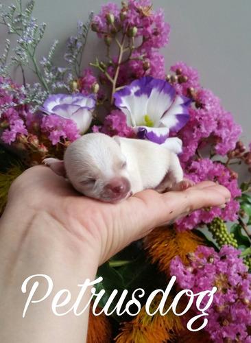 perritos chihuahuas hembras pedigre y microchip
