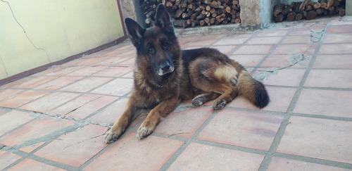 perro pastor aleman