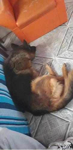 perro pastor aleman para monta