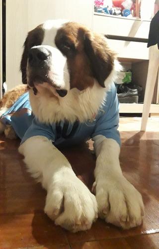 perro san bernardo para monta