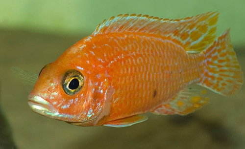 pez africano aulonocara fire-fish(agua templada)
