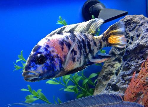 pez africano aulonocara ob (agua templada)