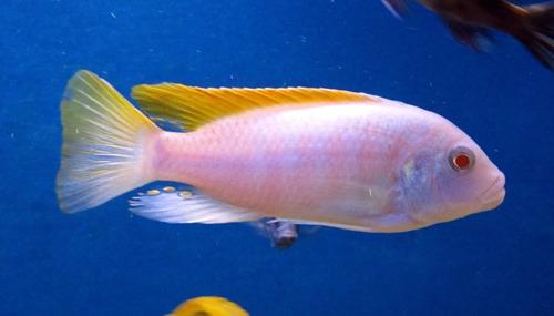 pez africano maylandia albino (agua templada)