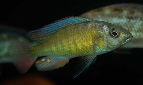 pez africano pundamilia nyererei (agua templada)