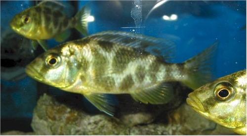 pez africano venustus