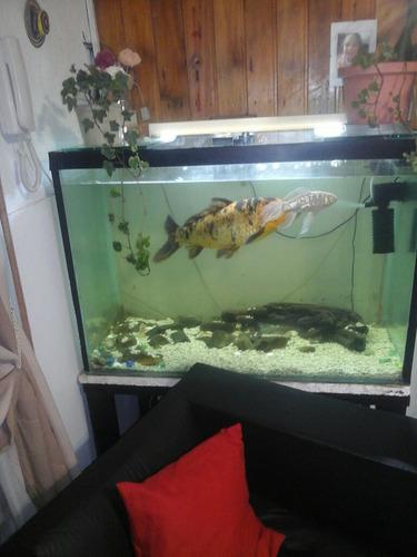 pez carpa koi de 50 cm de largo