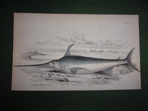 pez espada common sword fish grabado colorado de 1833