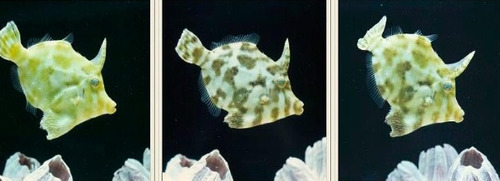 pez lija para pecera marina acuario marino super exoticos