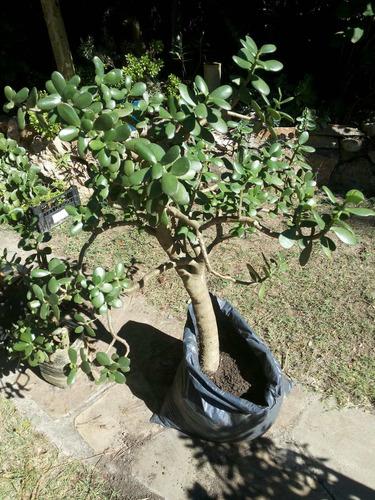 planta arbol de jade o arbol  de la fortuna