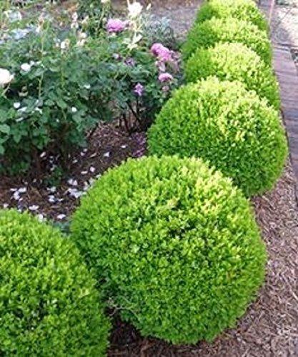 Planta Arbusto Boj Redondo En Maceta 425 00 En Mercado