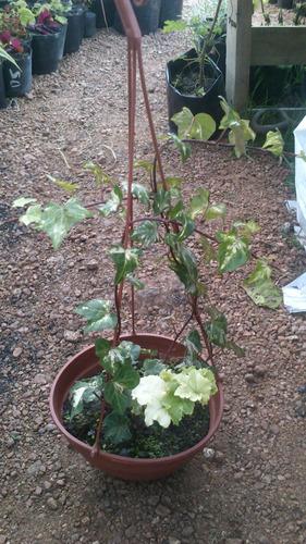 planta de hiedra colgante