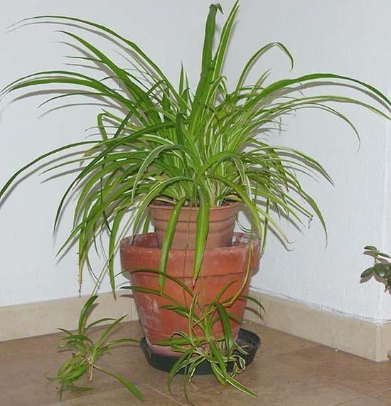 Planta en maceta cinta o lazos de amor colgante de - Cinta planta ...