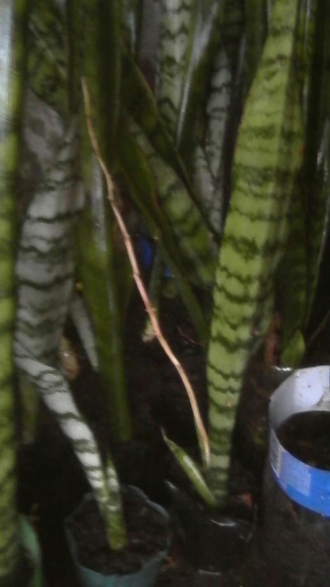 Planta Espada De San Jorge 10000 En Mercado Libre