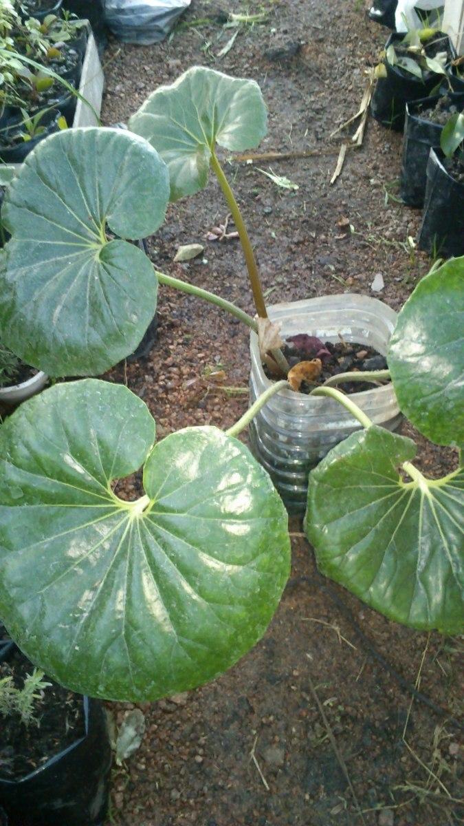 35aff068075cc planta gorra de vasco. Cargando zoom.