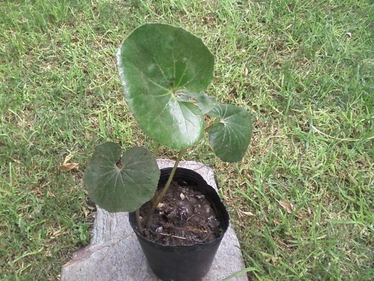 295ca1916be7a planta gorra o boina de vasco - senecio kaempfer. Cargando zoom.