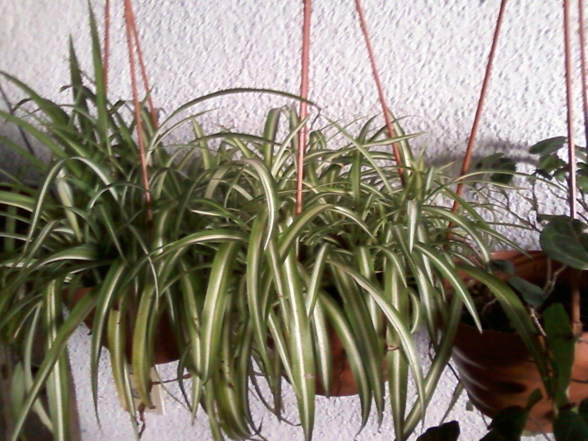 Planta lazos de amor cinta colgante purificadora - Cinta planta ...