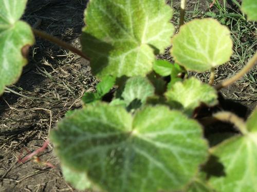 planta oreja de raton o flor del mosquito