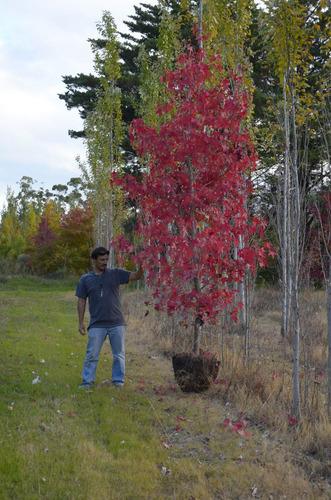 plantas, árboles de liquidambar de 3 m de altura. vivero.