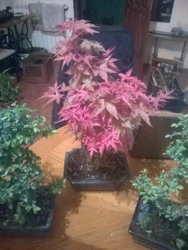plantas bonsai