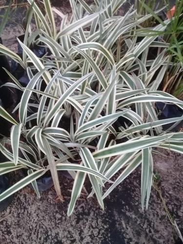 plantas de diamela