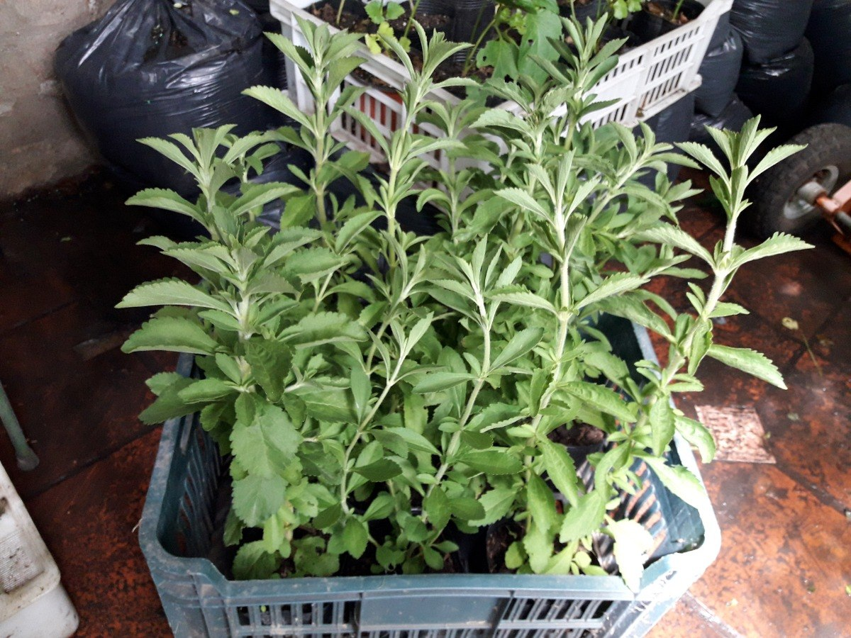 Plantas De Estevias De 40 Cms En Mac  No 12