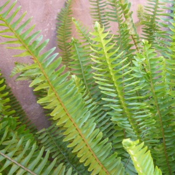Plantas de interior o exterior helechos hojas de serrucho - Jacinto planta de interior o exterior ...