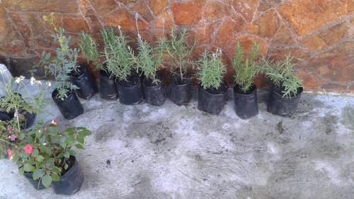 plantas de romero y lavanda
