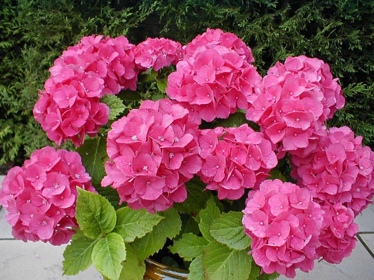 Plantas Hortensias Flor Fuscia Ideal Exterior Jardin Casas 190 - Hortensias-cuidados-maceta