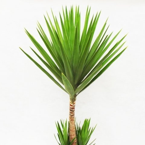 Plantas palmeras yucas muy decorativas macetas jardines for Plantas decorativas resistentes