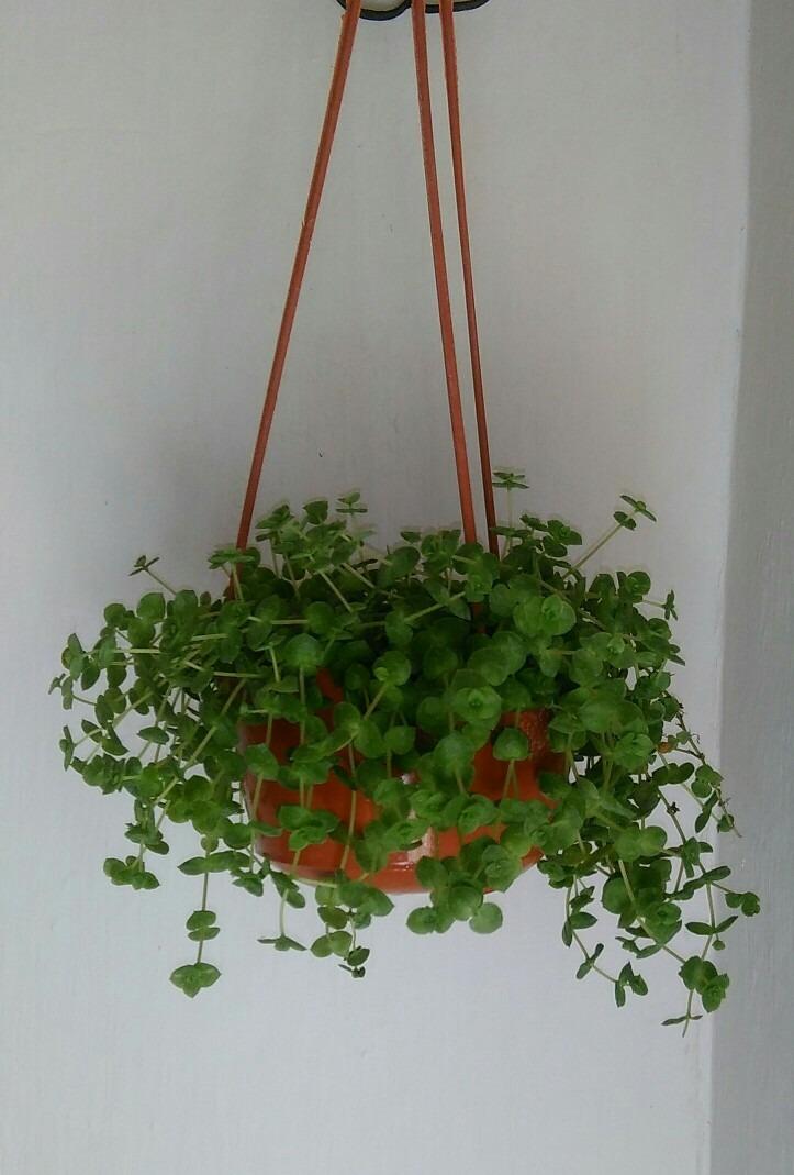 Plantas suculentas colgantes en maceta 280 00 en for Plantas suculentas colgantes