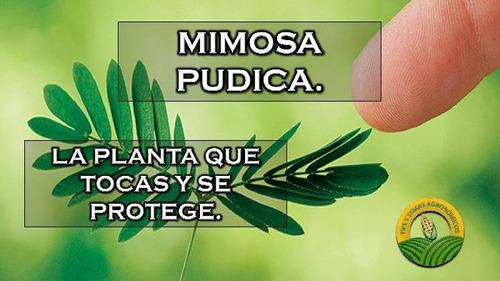 plantines de mimosa pudica sensitiva se contraen al tocarlas
