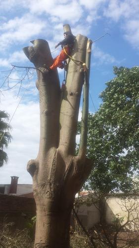 podas extracción transplante - arbol gran tamaño y palmeras