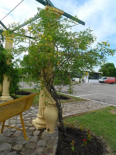 rama negra- arbusto floral nativo, hojas y frutos vistosos